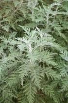 Plante Absinthe