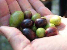 variétés d'olives