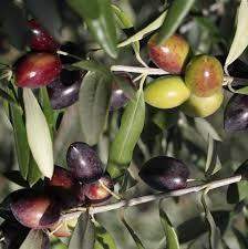 olives noires ou vertes