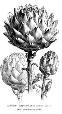 200px-Artichaut_perpétuel_Vilmorin-Andrieux_1904