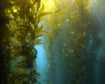 algues-laminaires-giant-kelp-macrocystis-pyrifera-01